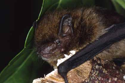 Today's Extinct Animal: Christmas Island Pipistrelle