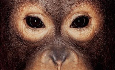 Ape Portraits