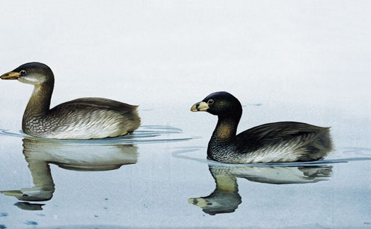 Today's Extinct Animal- The Lake Atitlan Grebe