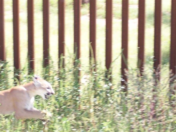 cougar_wall.jpg