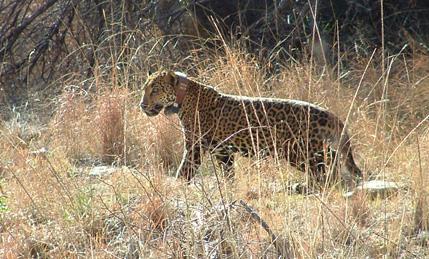 No More Jaguars